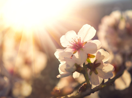 flower: Spring blossom background. Nature scene with blooming tree