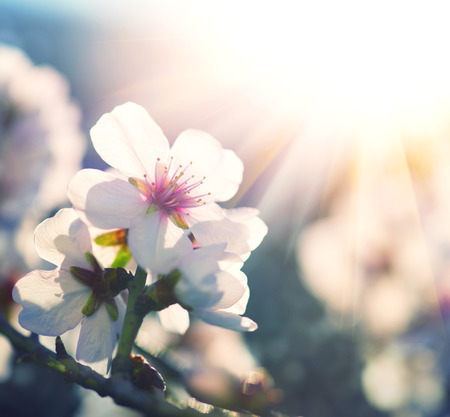 Spring blossom background. Nature scene with blooming tree