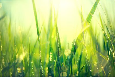 Herbe. Frais herbe verte de printemps avec des gouttes de rosée gros plan Banque d'images - 37941275
