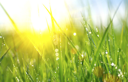 sun: Grass. Fresh green spring grass with dew drops closeup