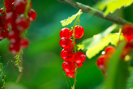 Redcurrant. Ripe and fresh organic red currant berries