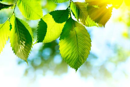 luz natural: Naturaleza fondo de hojas verdes. Bokeh borrosa abstracta Foto de archivo