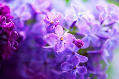 Beautiful violet lilac flower closeup