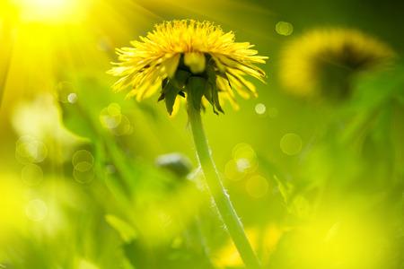 dandelion flower: Dandelion flowers growing on spring field