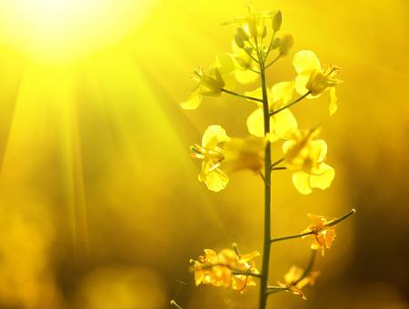 Blooming canola flowers closeup. Flowering rapeseed