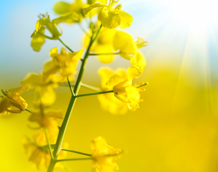 Blooming canola flowers closeup. Flowering rapeseed
