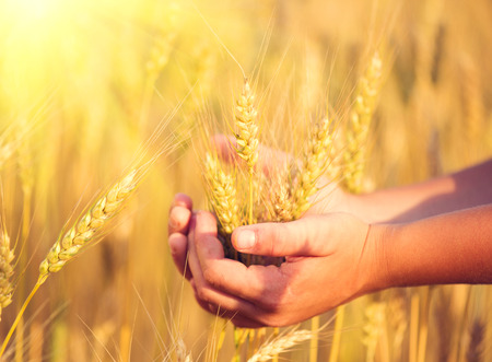 cereals holding hands: Little boy taking wheat ears on the field Stock Photo