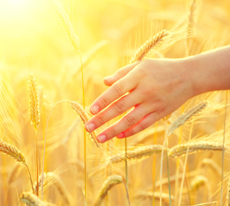 harvest organic: Girls hand touching yellow wheat ears closeup. Harvest concept Stock Photo