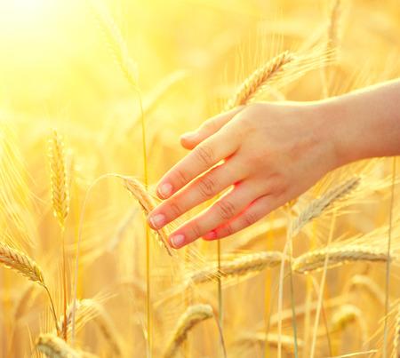 Main touchante épis de blé jaunes agrandi de Fille. Notion récolte Banque d'images - 42724224