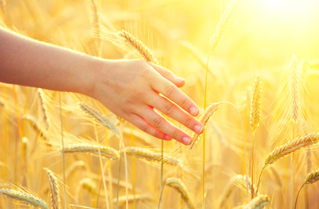 cornfield: Girls hand touching yellow wheat ears closeup. Harvest concept Stock Photo