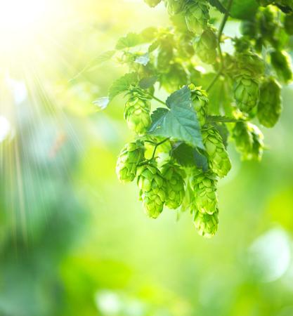 Hop Pflanze close up wächst auf einem Hop Farm. Brewing