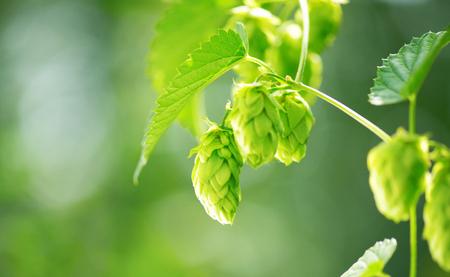 hop plant: Hop plant close up growing on a hop farm. Brewing