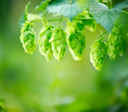 ホップ植物をクローズ アップ ホップ農場で成長します。醸造 写真素材