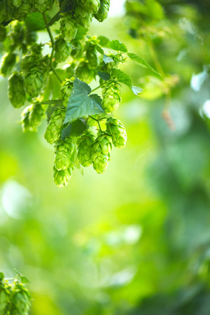 humulus: Hop plant close up growing on a hop farm. Brewing