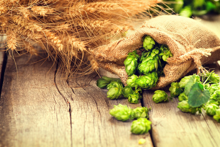 Hop in bag and wheat ears on wooden cracked old table. Beer brewery concept. Ingredient for brewing beer. Beauty fresh-picked hop cones and wheat closeup. Sack of hops and sheaf of wheat on vintage background. Retro style. Alternative medicine. Harvest co