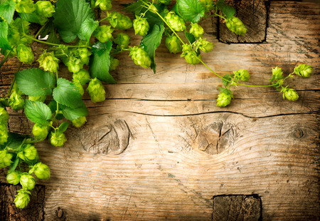 Hop twig over old wooden table background. Vintage style. Beer production ingredient. Brewery. Fresh-picked whole hops close-up. Brewing concept wallpaper. Stock Photo