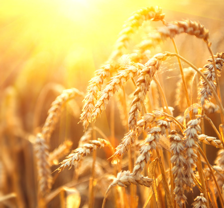 Wheat field. Beautiful ears of wheat close up. Nature sunset Landscape. Golden sundown over wheat field. Rural Scenery under Shining Sunlight. Background of ripening ears. Rich harvest Concept