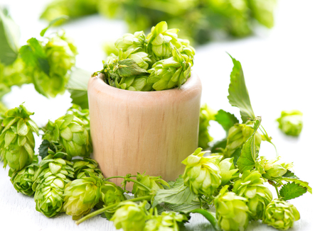 hop hops: Hop in wooden bowl on white table. Green whole hops with leaves close up isolated over white background. Beer brewery concept. Alternative medicine Stock Photo