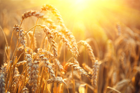Golden wheat field. Ears of wheat close up. Beautiful Nature Sunset Landscape. Rural Scenery under Shining Sunlight. Background of ripening ears of meadow wheat field. Rich harvest Concept
