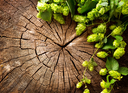 beer production: Fresh, green hop branch on wooden background. Vintage style. Beer production ingredient. Brewing
