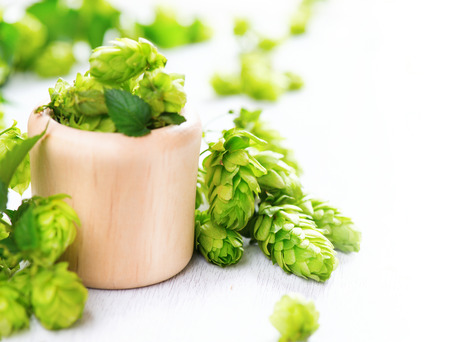 hop hops: Fresh hop in wooden bowl on white table. Green whole hops with leaves close up isolated over white background. Beer brewery concept. Alternative medicine