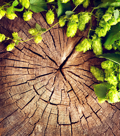 hop plant: Fresh, green hop branch on cracked wooden background. Vintage style. Beer production ingredient. Brewing. Copy space for your text. Stock Photo