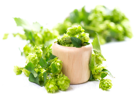 hop hops: Blossoming hop in wooden bowl over white background. Beautiful green whole hops with leaves close up isolated on white table. Beer ingredients. Brewery concept. Alternative medicine