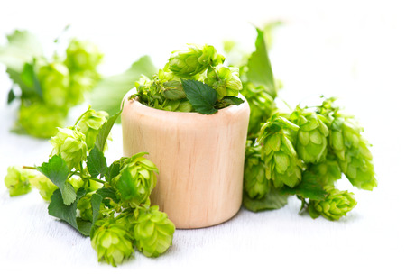 hop hops: Hop in light wooden bowl over white table. Green whole hops with leaves close up isolated over white background. Beer brewery concept. Ingredients for beer. Alternative medicine
