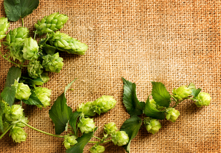Twigs of hop over burlap background. Fresh green hops with cones on sack. Hop plant close-up. Beer production ingredient. Brewing Stock Photo
