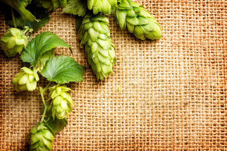 hop hops: Hop branch close-up over Burlap background. Beer production ingredient. Beautiful vintage backdrop of fresh hops over shabby sack linen texture. Brewing concept. Retro style Stock Photo
