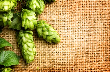hop hops: Fresh Branch of Hop close up on Burlap background. Ingredients for Beer. Beauty vintage backdrop of fresh hops over shabby sack linen texture. Brewing concept. Vintage style. Copy space for your text