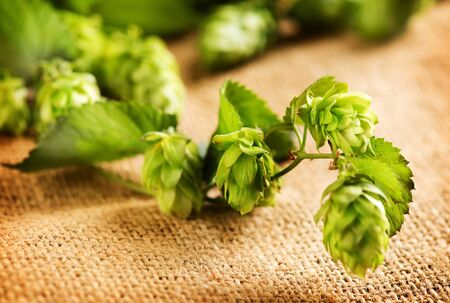 hop cone: Hop plant close-up. Hop over burlap background. Twigs of Hop with cones and green leaves over sack linen texture. Beer production ingredient. Brewing Stock Photo