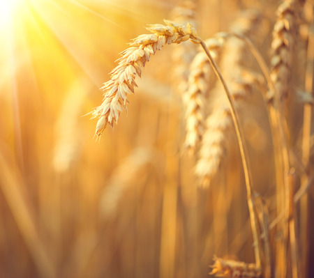 Ears of wheat close up. Golden field of meadow wheat background. Beautiful Nature Sunset Landscape. Rural Scenery under Shining Sunlight. Rich harvest Concept Stock Photo