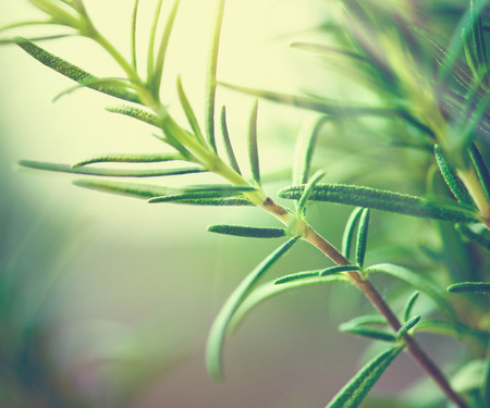Close-up of fresh rosemary leaves. Green flavoring outdoor. Fresh rosemary growing in garden. Condiment concept. Ingredients for cooking and medicine