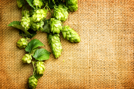 beer production: Beautiful fresh green hop over vintage background. Hop cones with leaves close-up lying on burlap. Retro style. Ingredients for beer. Texture burlap backdrop. Copy space for your text
