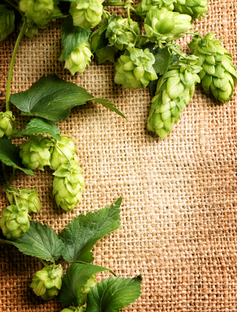 hop hops: Green hops close up over burlap background. Hop plants with leaves and cones on sack linen texture. Medicine concept. Vertical photo