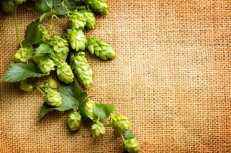 hop cone: Green Hop on burlap texture. Plant of hop with leaves and whole cones  close-up.  Brewing beer ingredients. Brewery concept. Retro and vintage toned. Shabby sack linen texture background. Your text