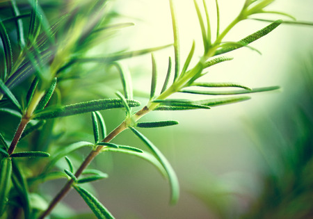 Fresh Rosemary Herb grow outdoor. Rosemary leaves Close-up. Fresh Organic flavoring plants growing. Nature healthy flavoring. Ingredients for food