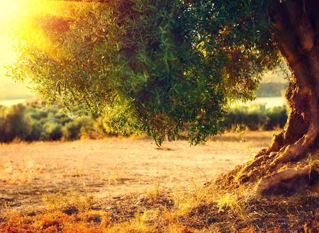 Olive tree in the sunlight. Mediterranean olive field with old olive tree. Agricultural landscape. Healthy nutrition concept