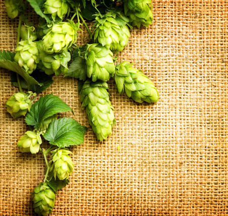 beer production: Fresh Branch of Hop with leaves and cones close up on Burlap background. Hop close up. Ingredients for Beer. Brewing beer ingredients. Brewery concept. Texture burlap backdrop. Vertical photo