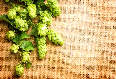 Čerstvým zeleným chmel zblízka. Větve chmelových rostlin s kužely a listy nad pytloviny pozadí. Ingredience pro vaření piva. Pivovar. Kopie prostor pro váš text
