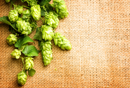 Fresh green hops close up. Branches of Hop plants with cones and leaves over burlap background. Ingredients for brewing beer. Brewery. Copy space for your text