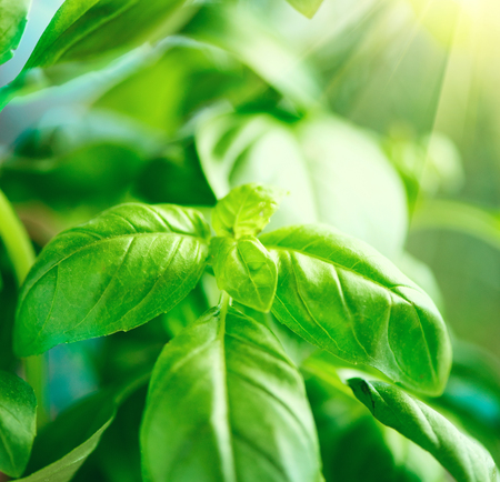 plant growing: Close-up of fresh basil leaves. Green flavoring outdoor. Fresh Basil growing in garden. Nature healthy Basil over Blurred Background with Sunbeams. Condiment concept