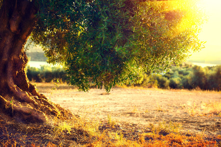 wood agricultural: Olive trees. Plantation of olive trees at sunset. Mediterranean olive field with old olive tree. Vegetable produce industry. Seasonal nature Stock Photo