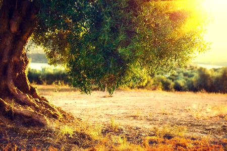 feld: Olivenbäume. Pflanzung von Olivenbäumen am Sonnenuntergang. Mediterranen Olivenfeld mit alten Olivenbäumen. Gemüse und Nahrungsmittelindustrie. Saisonalität