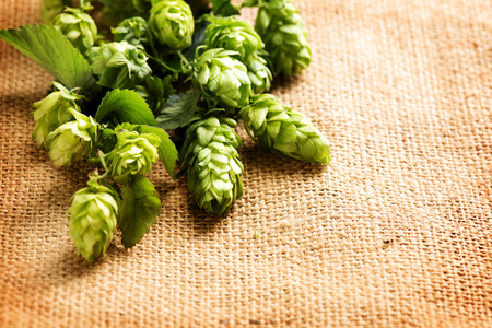humulus: Fresh hop with leaves and cones close up on burlap background. Brewing concept