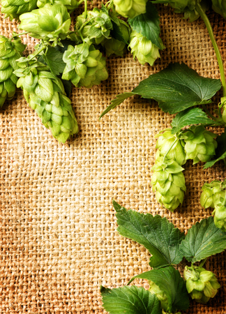 Fresh hop with leaves and cones close up on burlap background. Brewing concept