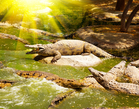 animal den: Crocodiles in the river. Crocodiles resting on the rocks and swimming in the water