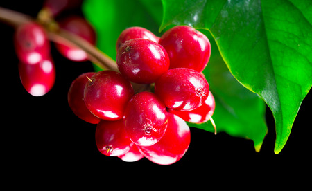 seeds coffee: Coffee Plant. Red coffee beans on a branch of coffee tree Stock Photo
