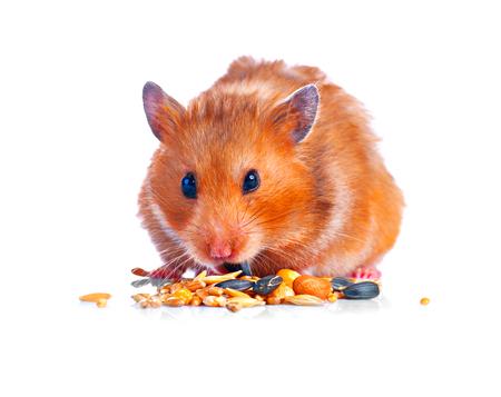 햄스터. 작은 귀여운 애완 동물 먹는 흰 배경에 고립 된